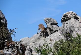 A nuestro paso una cabra en el Torcal