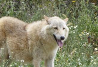 Lobo Polar de Lobopark